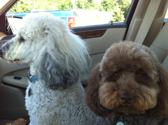 Maine Highpine Poodles Update From Hp Poodle Clients