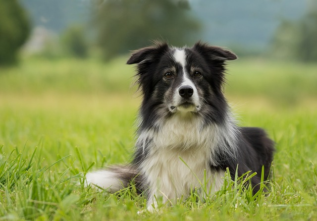 Unknown facts about Border collie