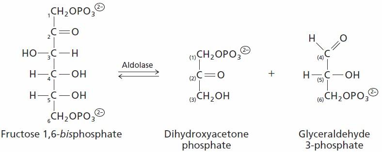 Fructose 6 Phosphate Glycolysis Sandwalk: Better Bioch...