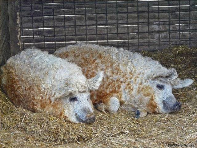 Babi Mangalitsa : Mungkinkah Saudara Domba ?