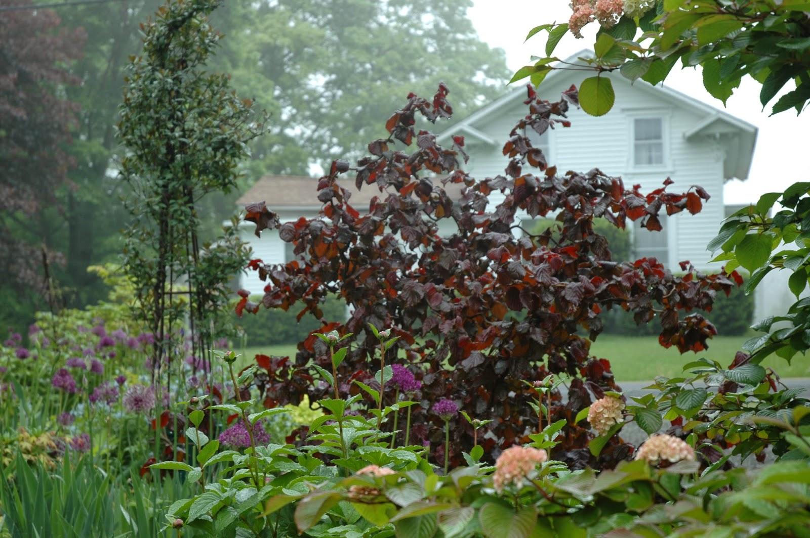 Cagouille 39 s garden un nouvel arbuste pour le jardin for Jardin arbuste