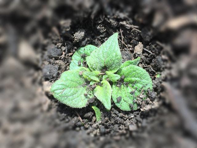 erste Blätter der Kartoffeln