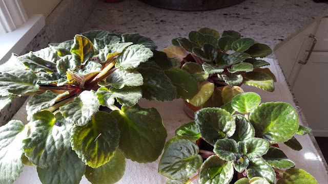 Re-Potted African Violets