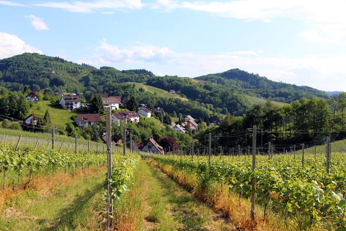 Weinberge am Panoramawanderweg Sasbachwalden