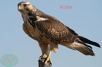 kite bird, চিল