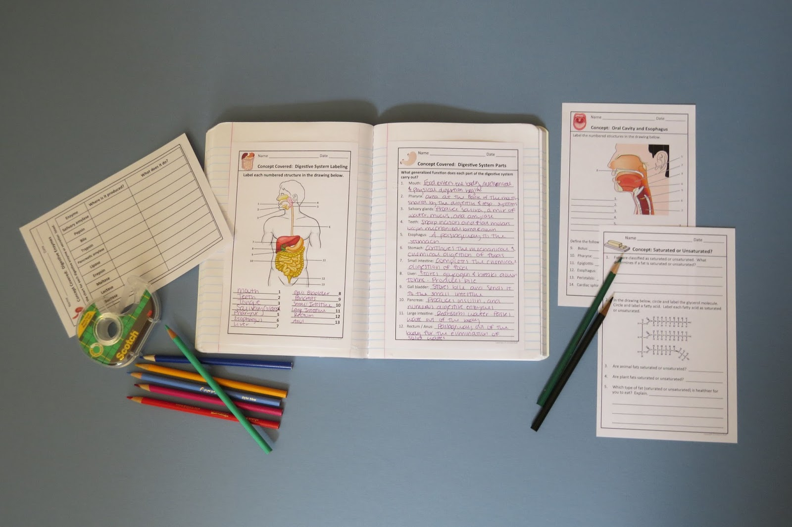 Amy Brown Science Digestive System Interactive Notebook Pages And