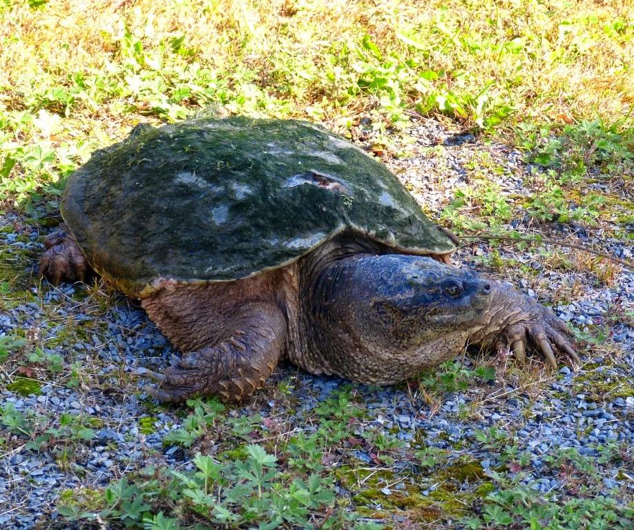 Snapping turtles sehen aus wie praehistorische Tiere und sind Kanadas groesste Suesswasser Schildkroeten. Ihr Lebensraum ist in der Naehe von Seen oder schlammigen Gewaessern.  Bei Gefahr koennen sie angeblich Ihren Hals ruckartig ausfahren und mit Ihrem Schnabel schmerzhaft zubeissen.