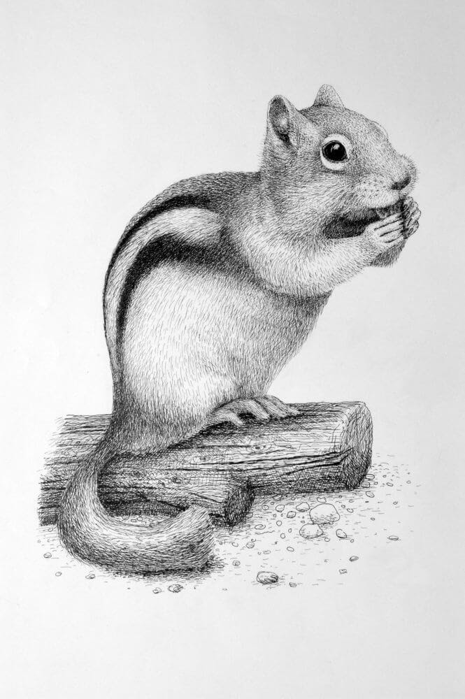 01-Chipmunk-Rens-Ink-Animal-Wildlife-Pen-and-Ink-Stippling-Drawings
