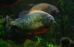 A piranha-vermelha (pygacentrus nattereri)