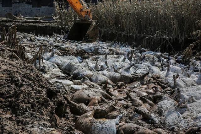 Wabah Demam Menyebar, China Musnahkan 38 Ribu Babi
