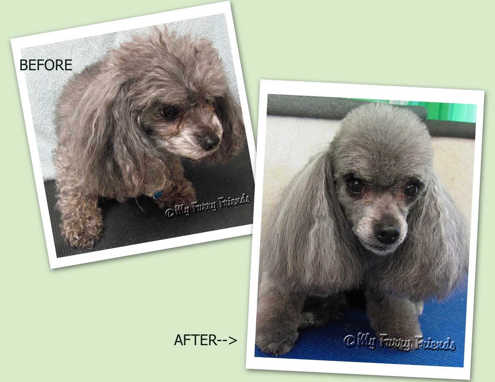 grooming your furry friend: does a poodle have to be groomed