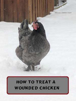 chicken, wounds