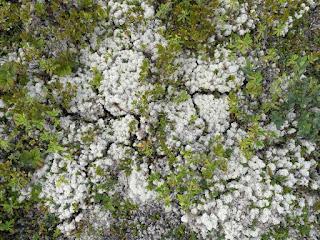 Cladonie étoilée - Cladonia stellaris