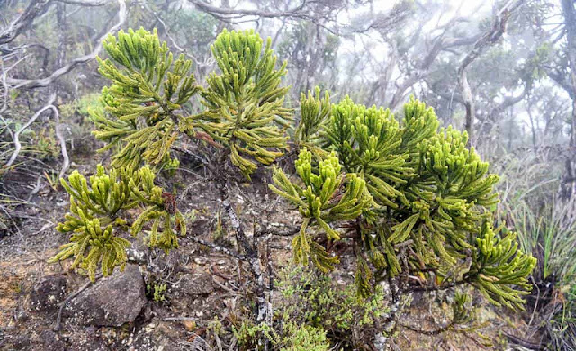 Shorter Plant are seen at higher point of Mount Kinabalu