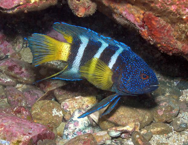 Dunia Ikan Hias - Blue Devil