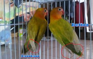 Cara Membedakan Lovebird Jantan Dan Betina Dewasa Dengan Mudah