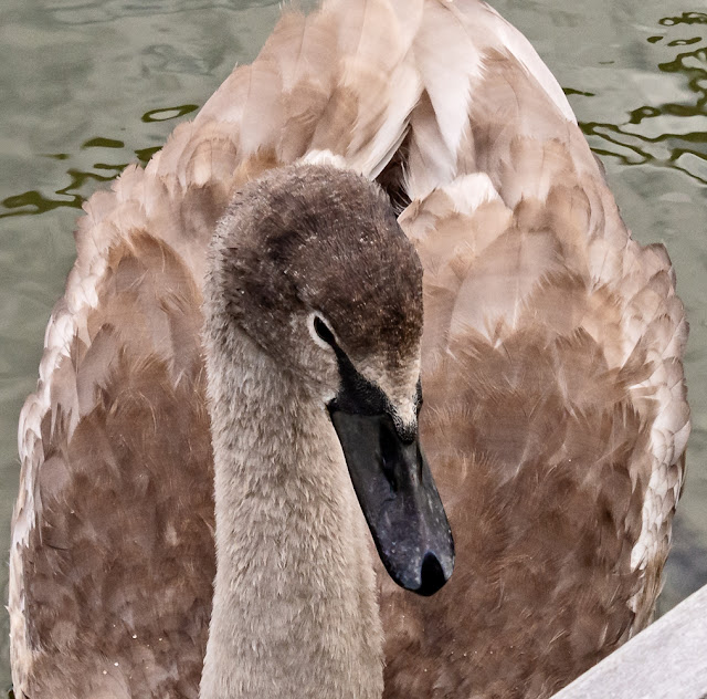 Photo of the lone cygnet in the marina
