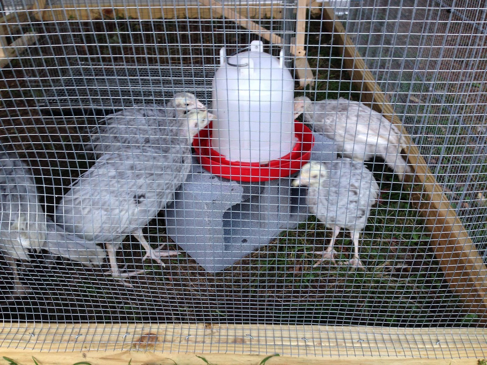Sejak Umur Berapakah Anakan Kalkun Makan Hijauan Ayam Kalkun Kita