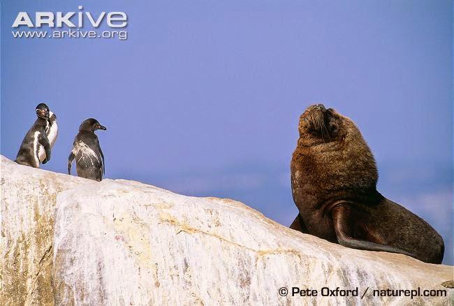 interactions between marine wildlife Humboldt penguin