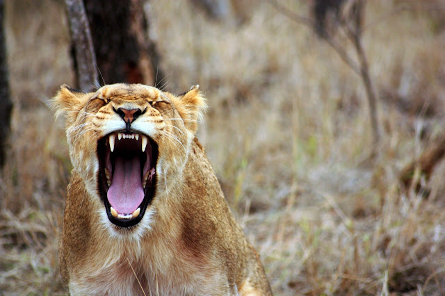 Lion angry and yelling, but really she's just yawning