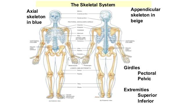 Human skeletal system - healthsi6