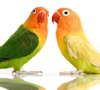 cara membedakan lovebird jantan dan betina dewasa,burung lovebird jantan dan betina,umur 3 bulan,umur 2 bulan,love bird jantan dan betina,kenari jantan dan betina,untuk lomba,saat birahi,
