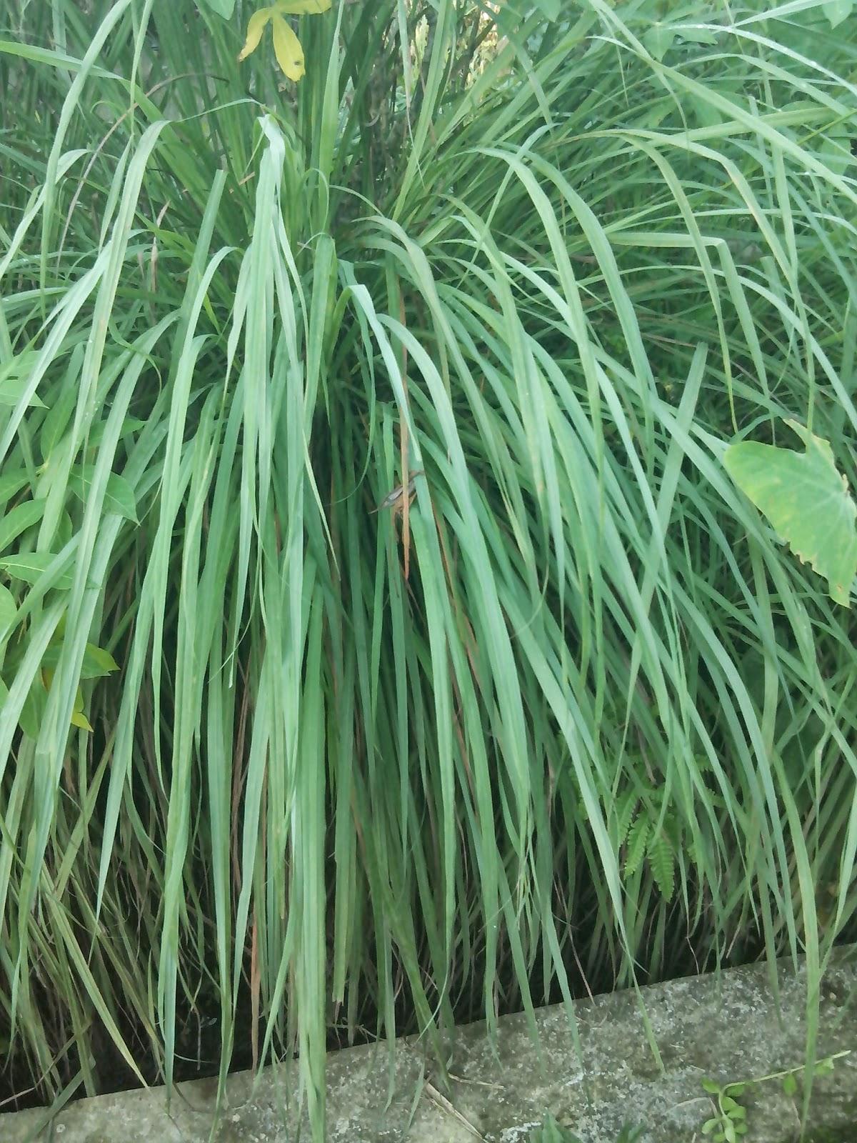 tanaman serai