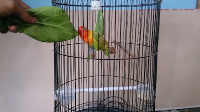 Rahasia lovebird juara | doping burung lovebird sebelum kontes