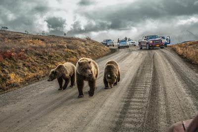 Beruang Alaska