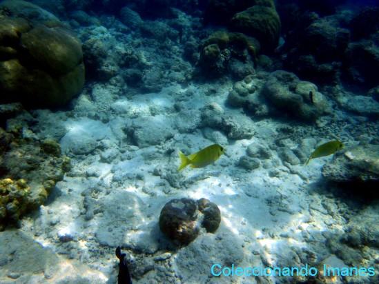 snorkel en maldivas pez totalmente amarillo