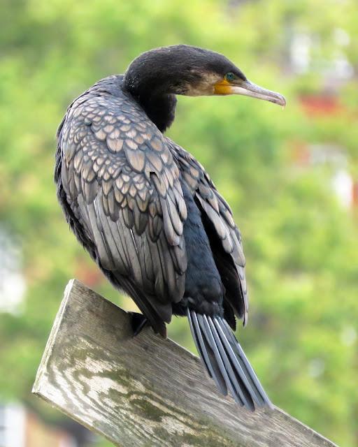 Cormorant by the Thames, Battersea Park, London
