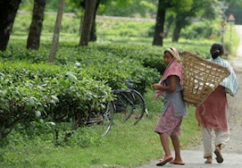 NHRC urged to help starving tea garden workers