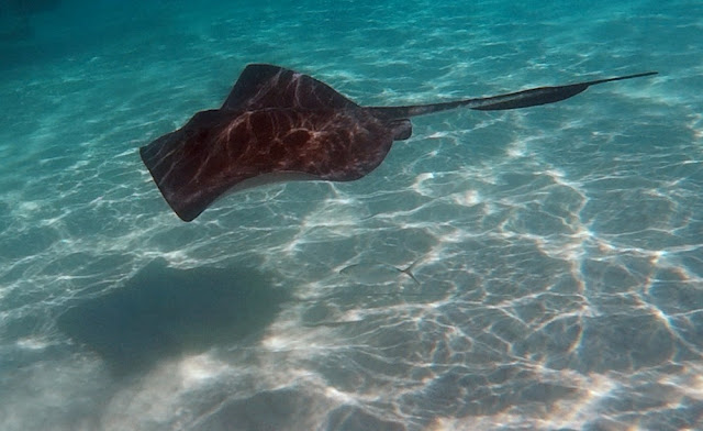 Stachelrochen - Stingray City, Grand Cayman