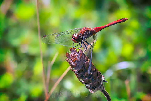Scarlet dragonfly in the afternoon sunshine at Ouse Fen Nature Reserve