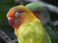 Vitamin Yang Diperlukan Oleh Lovebird Biar Cepat Birahi Dan Ngekek Panjang