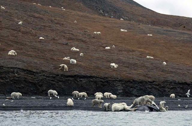 Parce gado, mas o 'rebanho' é de perigosos ursos polares 'em extinção'