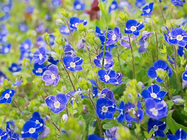 Close up of a clump of speedwell