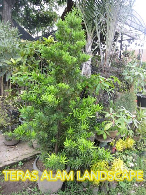 pohon lohansung
