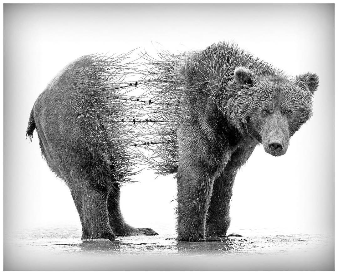 15-Grizzly-Bear-Alexis-Nevess-nevessart-Photographic-Double-Exposures-of-people-and-Animals-www-designstack-co