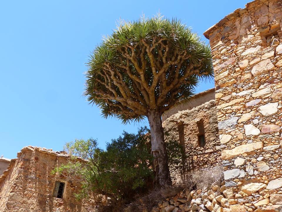 Le dragonnier d'ajgal, une espèce endémique dans le sud du Maroc. / Ph Association Ajgal pour la protection de l'environnement