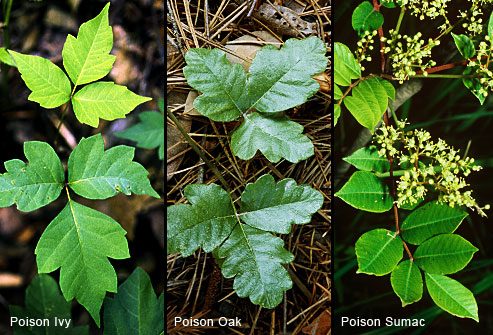 http://www.webmd.com/allergies/ss/slideshow-poison-plants