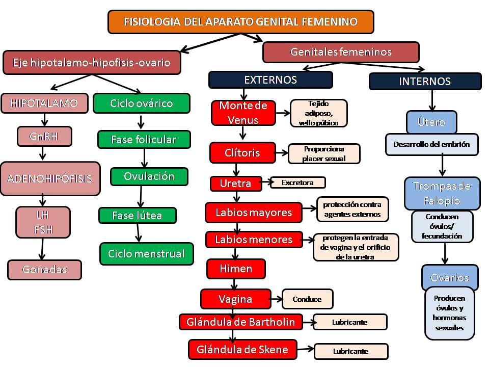 MUNDO GINECOLOGICO: FISIOLOGIA DEL APARATO GENITAL FEMENIN