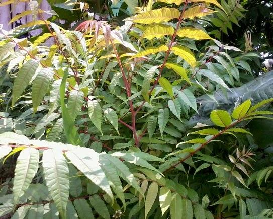 gambar manfaat tanaman suren untuk mengusir nyamuk