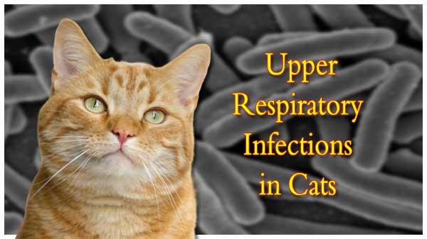 cat upper respiratory infection