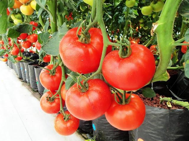 Berbagai Cara Mudah Budidaya Tomat Agar Cepat Berbuah dan Lebat