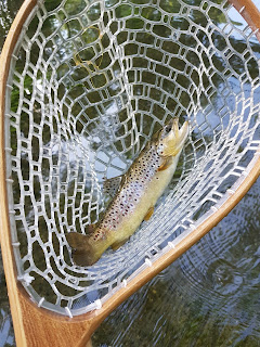swift river brown trout fly fishing ma