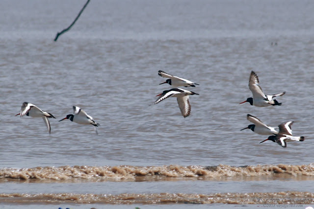 Eurasian Oystercatcher in flight at the beach in Arnala, Mumbai
