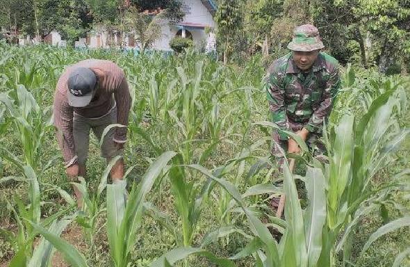 """Perawatan Tanaman Jagung, Kelompok Tani """"Haruan Bolon Tua"""" Didampingi Babinsa Koramil 15/Sipispis"""