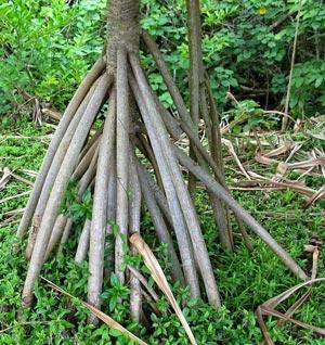 Jenis-jenis akar yaitu Akar tunjang