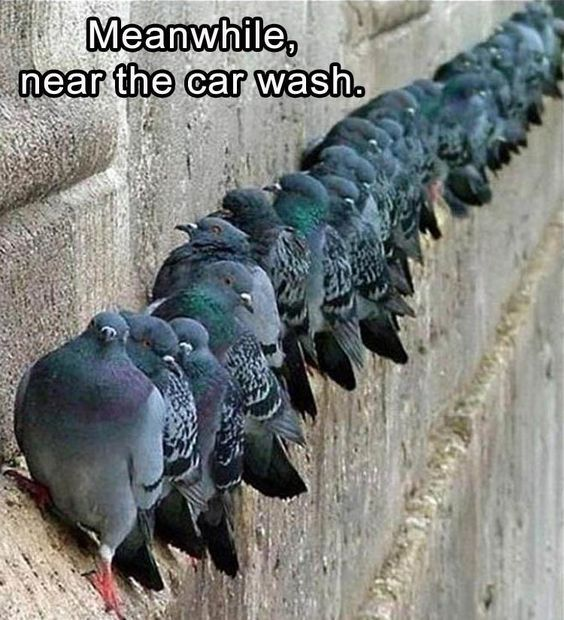 Meanwhile, Near The Carwash Pigeons Funny Picture